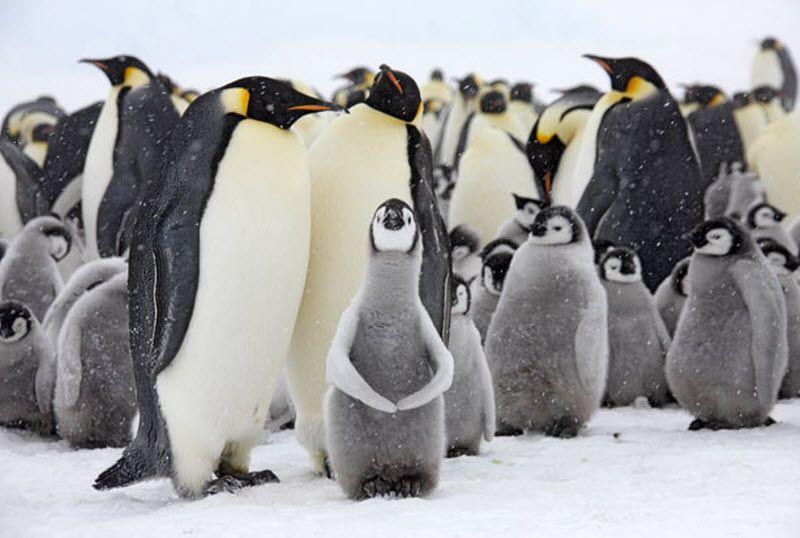 Императорские пингвины и их птенцы. (PAL HERMANSEN / STEVEBLOOM.COM / BARCROFT MEDIA)